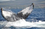 Ballenas en Hawaii